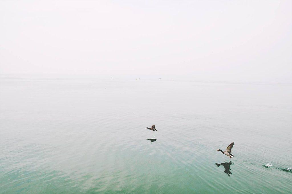 Les canards de Lac